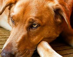 Аскариды у собак
