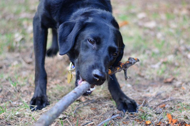 как научить собаку бегать за палкой